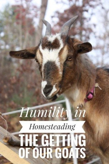 Get a laugh about how woefully unprepared we were to start raising goats on our homestead!  Hint: always over fence your goat pens!