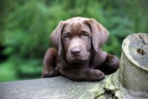 """4ième commandement d'un bon maître - Sociabiliser ton chiot, tu le feras au plus tôt - Il est très important, voir primordial de sociabiliser votre chiot ou votre chien dès son plus jeune âge. Ceci consiste à le faire fréquenter d'autres congénères le plus souvent possible, afin d'éviter tout comportement de crainte ou d'agressivité plus tard. Pour cela, vous pouvez soit le faire vous-même avec d'autres chiens de votre entourage ou à l'école de dressage """"."""