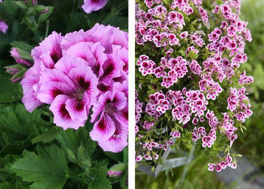 Engelsk pelargonia med sine sarte romantiske blomster er på full fart tilbake i norske hager.
