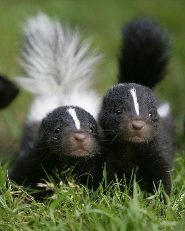 Baby skunks #BabyAnimals https://presentbaby.com