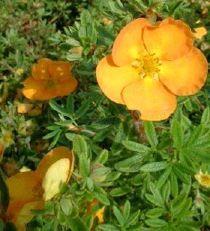 Potentilla fruticosa Tangerine