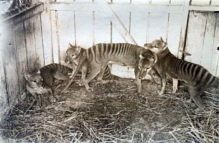 "* Tilacinos * em 1910.  (Thylacinus cynocephalus). ""Lobo-da-Tasmânia""; ""Tigre-da-Tasmânia"".  EXTINTO!"