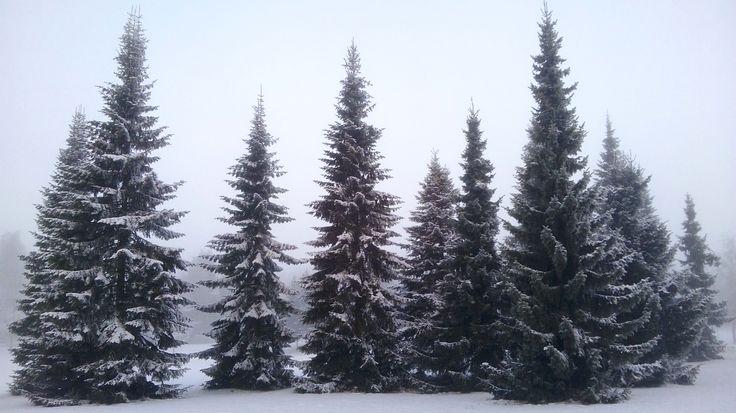 Winter firs. STarnanen 2015.