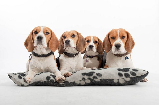 Beagle Family | Flickr - Photo Sharing!
