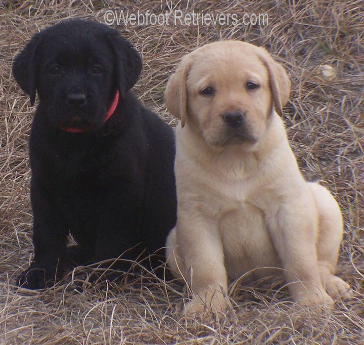 Labrador Puppies For Sale: Labrador Puppies For Sale Ms