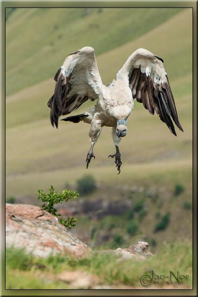 Cape Vulture By Jan-Nor Photography