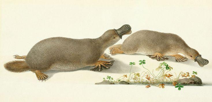 Platypus watercolour by Ferdinand Bauer