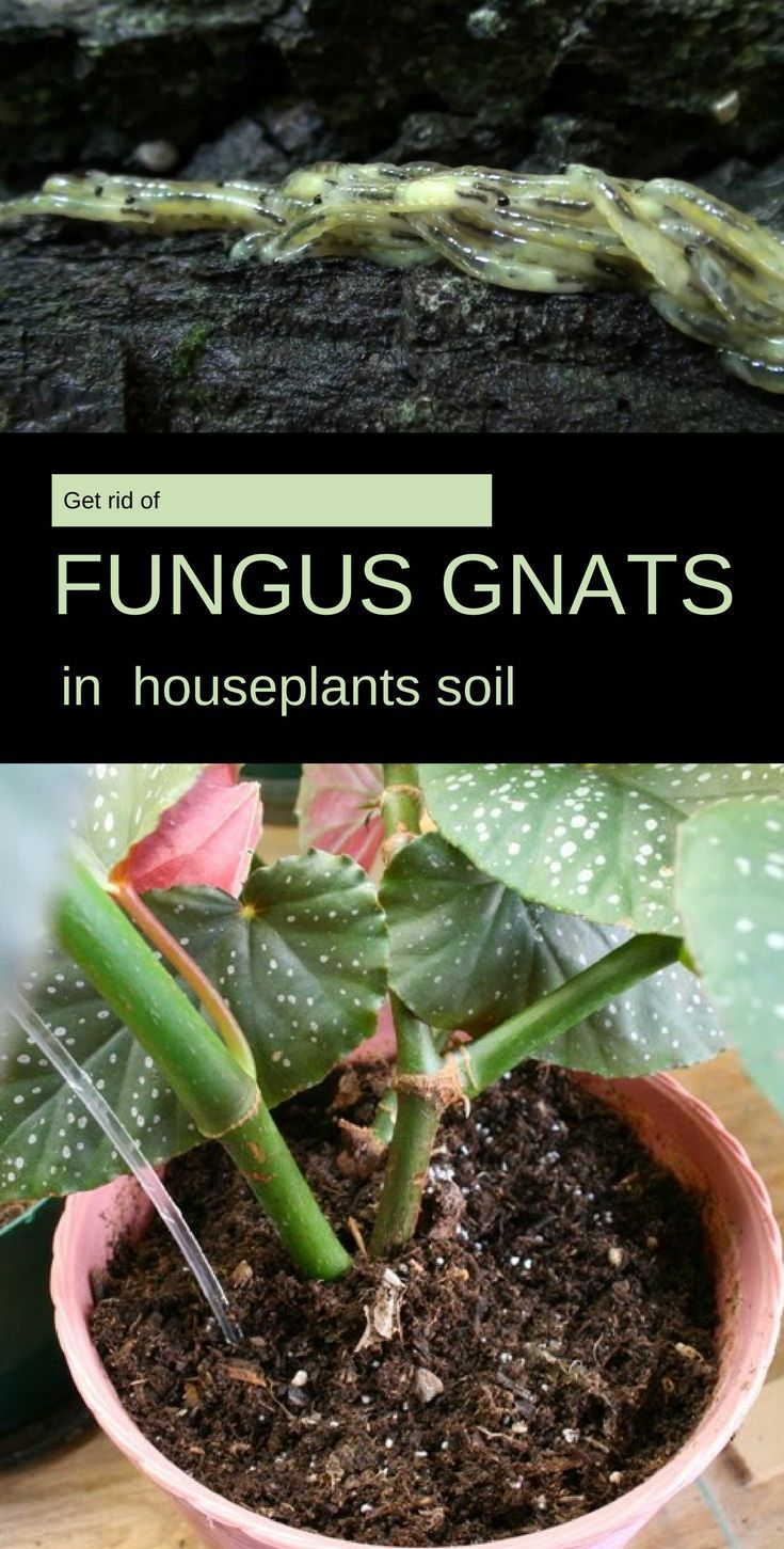 Get Rid Of Fungus Gnats In Houseplants Soil In 2020 Gnats In House Plants Knats In Plants Growing Plants Indoors
