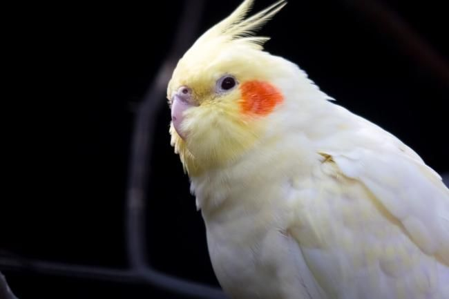 Are Cockatiels Afraid Of The Dark How To Avoid Nighfrights In