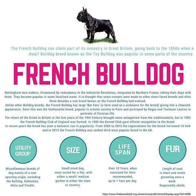 Breed Information For The Adorable French Bulldog French Bulldog Breed French Bulldog Information French Bulldog Facts