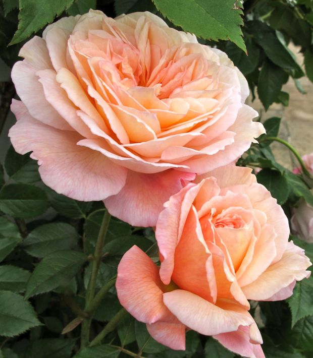 'A Shropshire Lad' |  Shrub.  English Rose Collection. Bred by David C. H. Austin (United Kingdom, 1997).