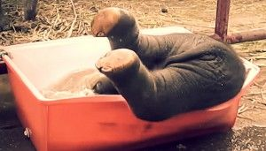 När den här elefantungen tar ett bad kan jag inte sluta le. Han är så underbart klumpig! Se mer: https://delbart.se/elefantunge-bad/