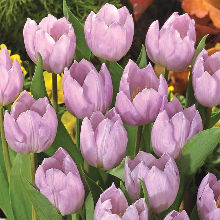 Candy Prince Single Early Tulip