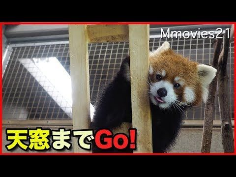 はしごを登るレッサーパンダ円実 油断禁物 Red Panda
