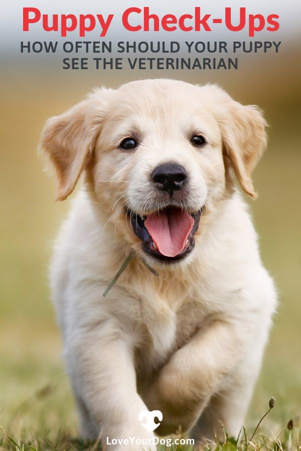 Puppy Check Ups How Often Should Your Puppy See The Veterinarian Puppies Dog Training Books Golden Retriever