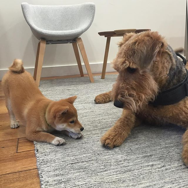 Showroom dog Artie giving our VIP guest Pocchi the once over before approving her for future visits. #kfive #airedale #shibainu #showroom #dogsofinstagram #wow #doge #vip