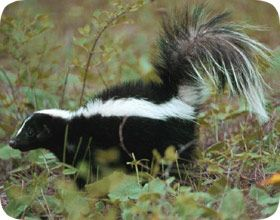 How to humanely trap a nuisance skunk.  http://www.wildlife-removal.com/skunktrap.html