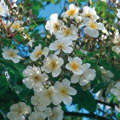R. Rubus - David Austin Roses