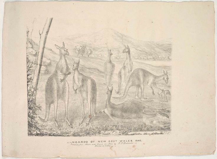 Kangaroo of New South Wales. 1842 Sketched from Nature and Drawn on Stone by T.T. Balcomb. Printed by T. Liley. From the Mitchell Library Collections, State Library of New South Wales : http://www.acmssearch.sl.nsw.gov.au/search/itemDetailPaged.cgi?itemID=404878