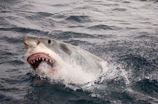Дайвер отбился от гигантской белой акулы селфи-палкой (ВИДЕО)