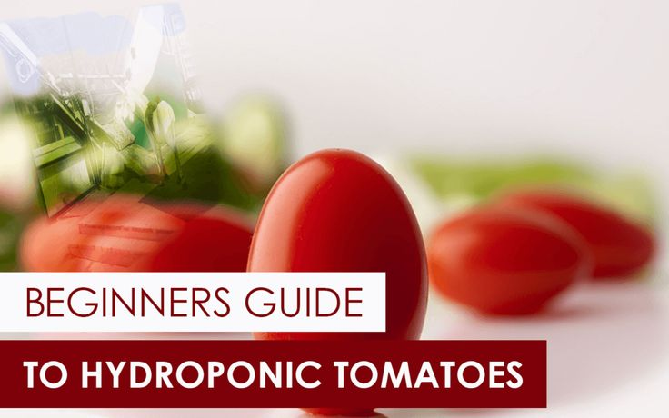 The Beginner's Guide to Hydroponic Tomatoes
