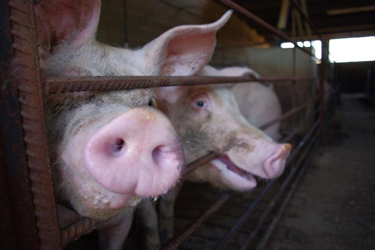 2010, Spanien: Animal Equality präsentiert eine ausführliche Recherche über spanische Schweinemastanlagen, in der das Leben und Sterben von Schweinen über einen Zeitraum von mehr als zwei Jahren - von August 2007 bis Mai 2010 - in Mastanlagen und Schlachthöfen in ganz Spanien dokumentiert wurde.