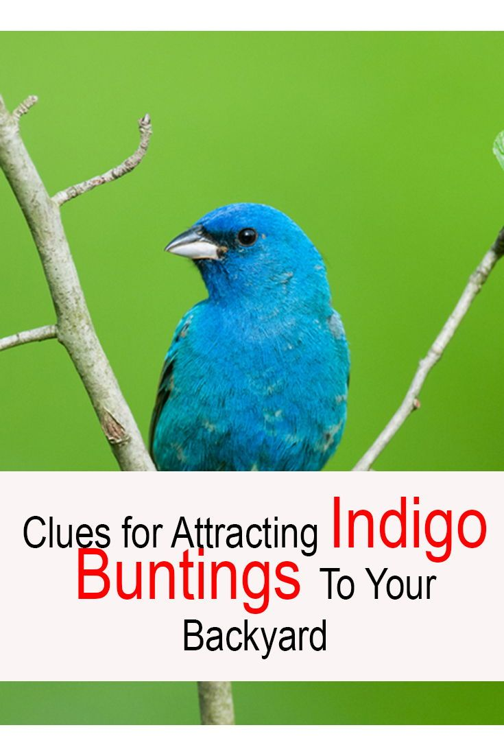 How to attract indigo buntings to your backyard simple