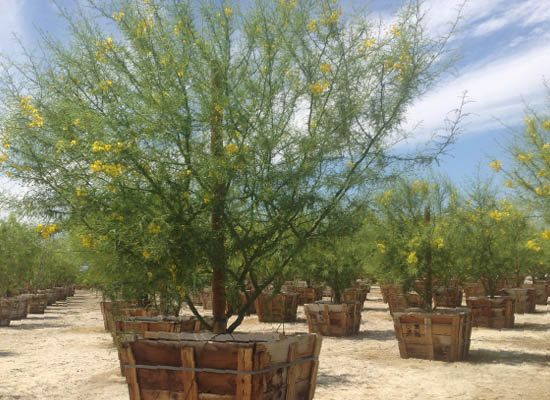 Museum Palo Verde for Sale | Fast Growing Desert Trees - Moon Valley Nursery Phoenix Arizona