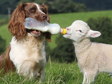 .This is the same Springer Spaniel I was telling you about!!!   Hey, hey, hey!!!