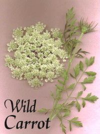 Wild Carrot/Queen Anne's Lace: Useful in many areas of alternative medicine, a few are Alzheimer's, Crohn's disease, Parkinson's disease, Infertility, Asthma-preventive, most types of cancer, Diabetes, Leukemia, HIV, Spina-bifida, Migraine headache, obesity, and much more, even the common cold. Used as a medicinal herb for thousands of years as an anthelmintic, carminative, contraceptive, deobstruent, diuretic, emmenagogue, galactogogue, ophthalmic, and stimulant.