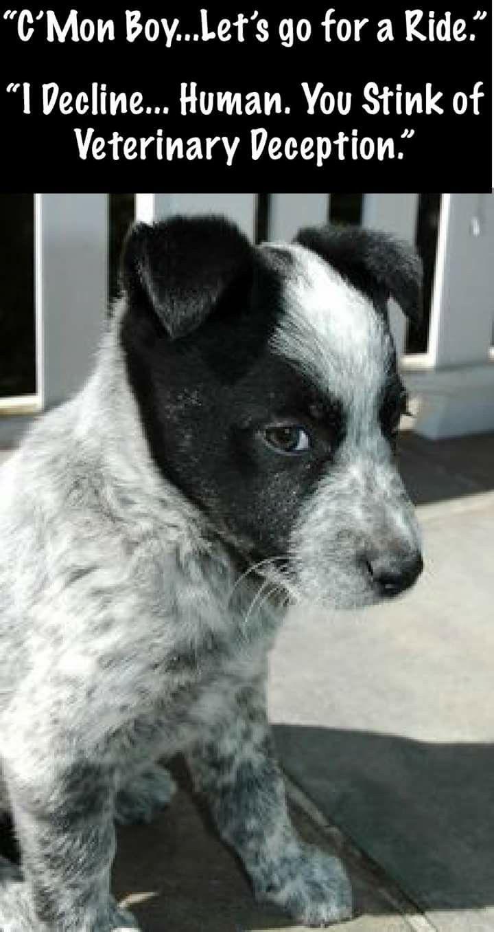 Northeast ohio blue heeler dogs puppies for sale ebay180 - Australian Cattle Dog Funny Jokesbluesblue Heelershumoraustralian