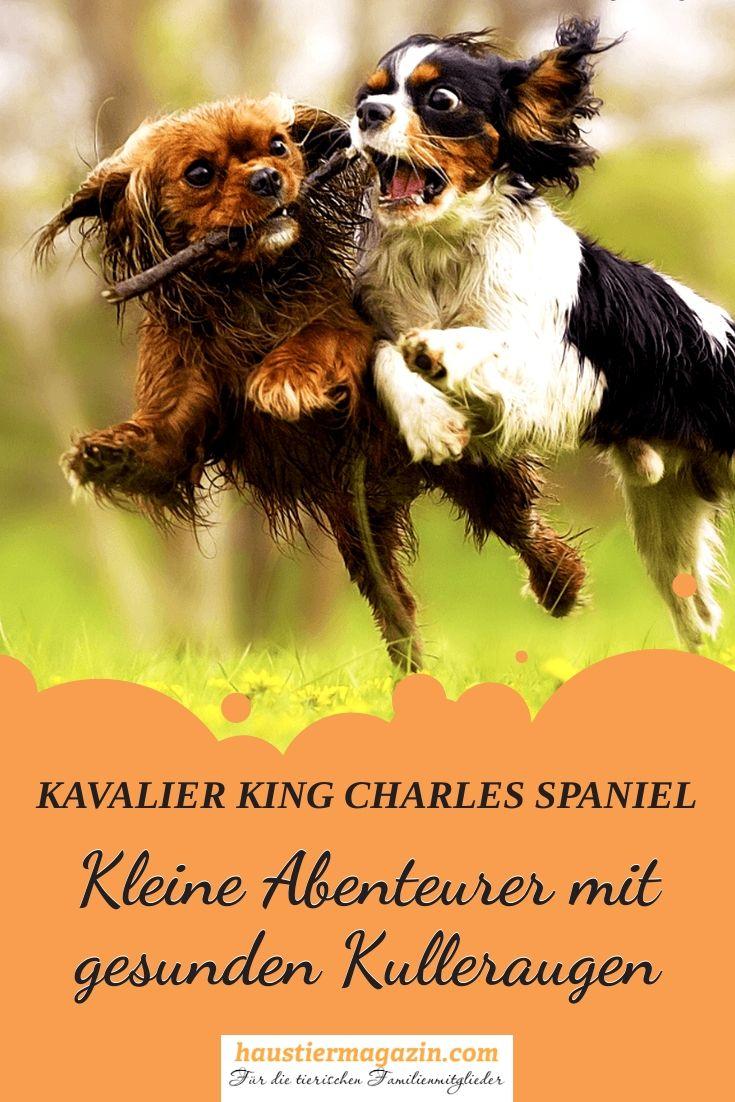 Cavalier King Charles Spaniel Steckbrief Fci Klasse Mehr King Charles Spaniel Cavalier King Charles Spaniel Tiere