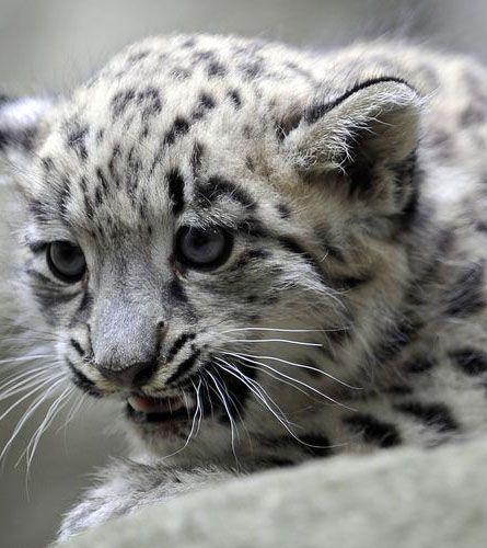 Le zoo de Jihlava, en République Tchèque, a présenté le 14 juillet une petite panthère des neiges née en captivité. Chassé pour sa fourrure, qui peut être épaisse de 10 centimètres, cet animal est en danger. A l'état sauvage, il n'en resterait que 5000 à 7000 dans le monde.