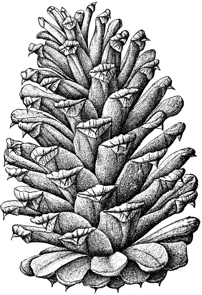 illustration of pine cone