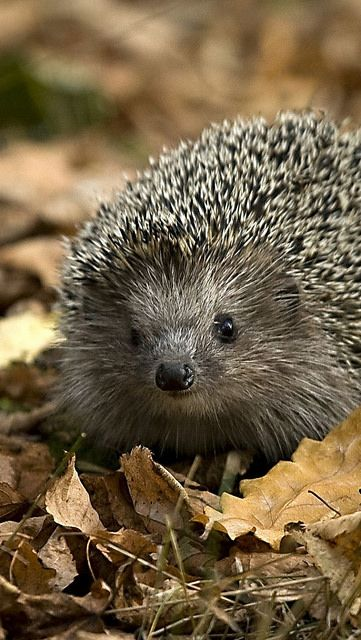 "Hedgehog * * "" DIS BE AN OFF DAY. I FOUNDS A FORTUNE COOKIE TAG IN DE LEAVES. IT SAID: ' YOU APPEAL TO A SMALL GROUP OF CONFUSED PEOPLE.' """