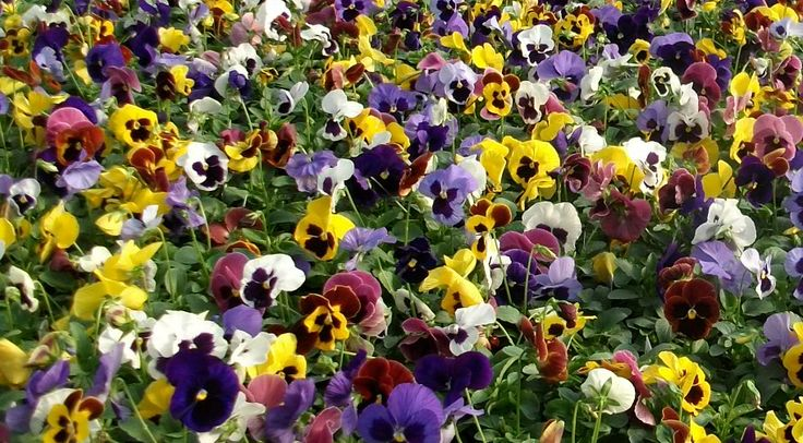Add a pop of color to your flowerbeds, containers, and windowboxes with beautiful Matrix Pansies!