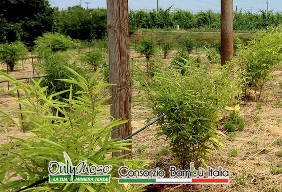 """Vantaggi sia di reddito che ambientali  Coltivare bambù gigante oltre a portare ai coltivatori grandi vantaggi in termini di reddito, produce anche grandi vantaggi ambientali. La coltivazione di Bambù infatti può essere definita ad """"impatto ambientale zero"""" in quanto un bambuseto è in grado di assorbire quantità di CO2 decine di volte maggiori se paragonato a qualsiasi altra piantagione o bosco.  #bambù #onlymoso #consorziobambùitalia #bambùitaliano"""