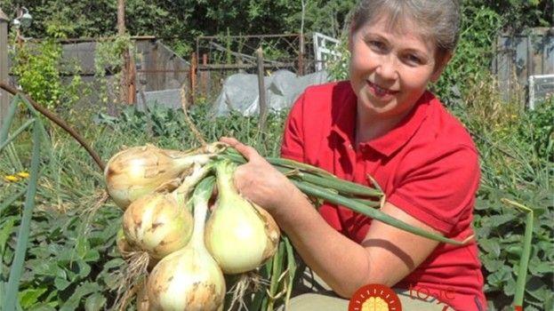9 tajomstiev pestovania cibule, ktoré by mal poznať každý, kto chce bohatú úrodu zdravých plodov!