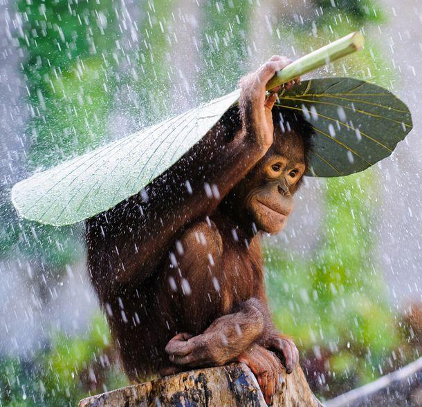 whatthefauna:  Orangutans often use a large leaf... - Rain and Coffee