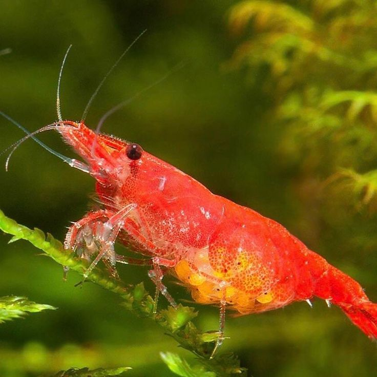 Berried Red Cherry Shrimp Red Cherry Shrimp Cherry Shrimp Shrimp