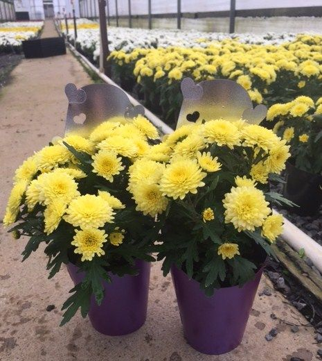 Chrysanthemum Living Bouquets all ready for dispatch! Have you got your mum something special for Mothers day 2015? try your local Garden Centre for some Chrysanthemum Living Bouquets!
