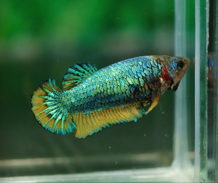 30 best images about beautiful female bettas on pinterest for Pretty betta fish