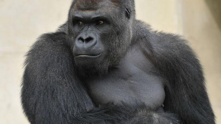Mannelijke gorilla's lijken te zingen als ze voedsel nuttigen.De dieren stoten langgerekte lage tonen uit, ofmaken een serie korte hoge geluiden tijdens het eten.