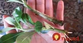 Na urýchlenie rastu a tvorbu koreňov odrezkov nemusíte nutne používať chémiu. Ten najlepší výsledok dosiahnete pomocou týchto prírodných prostriedkov.