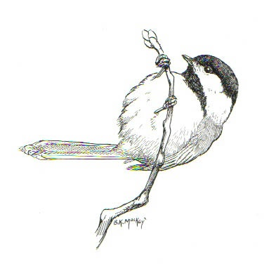 Via Nicole DiGeronimoBlack Capped Chickadee Drawing
