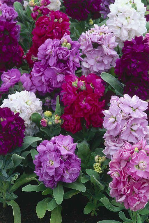 Flowering Plant | Flowering Plants: Pansy, Salvia, Piqueria or Stevia serrata, Stocks ...