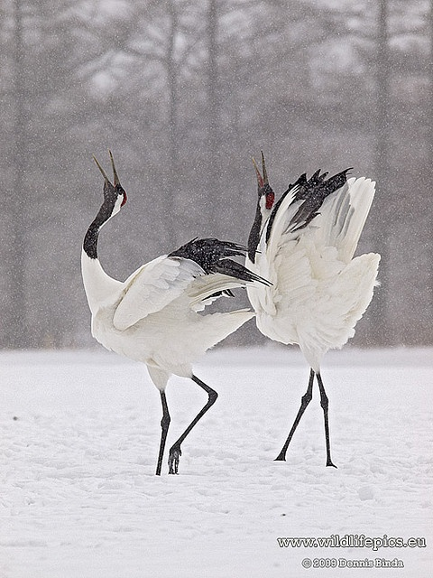 Japanese Crane in Snow | Photography | Pinterest - photo#29
