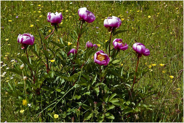 Naturaleza y Etnografía: Peonía (Paeonia officinalis)