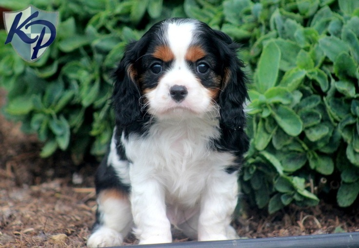 Webster Cavalier King Charles Spaniel Puppies for Sale