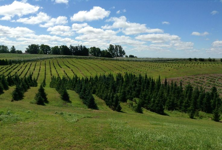 Christmas Tree Plantation  #ChristmasTrees
